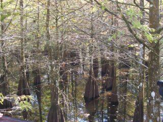 Cypress Trees1