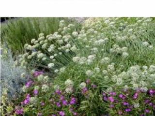GarlicChives